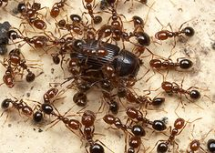 IMPORTED FIRE ANT Fire ant queens may live up to 7 years and can produce up to 1,600 eggs per day, and colonies will have as many as 250,000 workers. #pestoftheweek