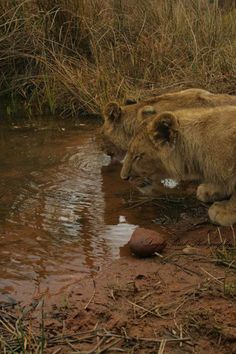 Kruger National Park, Lonely Planet, Big Cats, North West, Lions, Travel Guide, South Africa, Planets, Wildlife