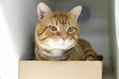 TOBIAS - A1091694 - - Manhattan  Please Share:***TO BE DESTROYED 11/04/16***  SECOND CHANCE FOR TOBIAS! -  Click for info & Current Status: http://nyccats.urgentpodr.org/tobias-a1091694/
