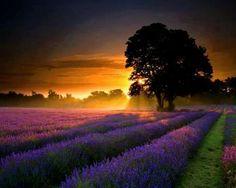 Sunset over lavender fields, provence, france
