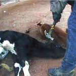 Got Milk? How about Mercy for Day-Old Calves? MFA Investigation Reveals Barbaric Violence on Texas Dairy Farm  By Free From Harm Staff Writers | April 20, 2011