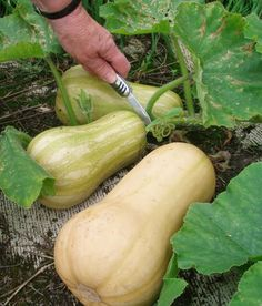 Growing Vegetables 10 helpful tips to growing summer and winter squashes like butternut, spaghetti ,and zucchini squash. - Squash, according to the viewpoint of botany negates the classification of being with vegetables and Growing Squash, Growing Veggies, Growing Plants, How To Grow Squash, Growing Spaghetti Squash, Growing Zucchini, Veg Garden, Fruit Garden, Edible Garden