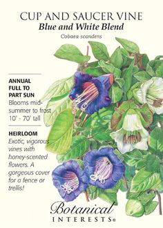 """Annual. (Perennial in zones 9-11.) This quick-growing vine has 2"""""""" cup-shaped flowers that open a beautiful pale green and mature to ivory or deep purple. Sow near arbors, fences, pergolas, or trellis"""