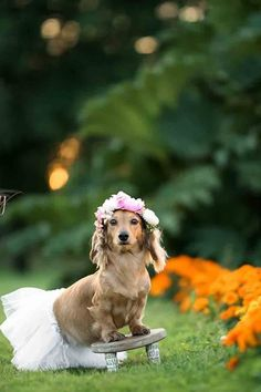 Photographer Gave Her Pregnant Dachshund an Over-the-Top Maternity Shoot, Tutu and All! -This Photographer Gave Her Pregnant Dachshund an Over-the-Top Maternity Shoot, Tutu and All! Arte Dachshund, Dachshund Love, Funny Animal Pictures, Dog Pictures, Newborn Puppies, Pregnant Dog, Animal Quotes, Dog Photos, Animal Photography