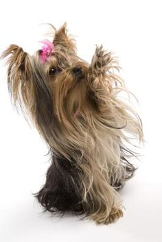 Don't underestimate the Yorkie's size by the pitter-patter of their tiny feet and their petite body capable of fitting inside a purse. This is a big dog trapped inside a small body. Buyers beware -- Yorkie puppies can be irresistibly cute and may melt you