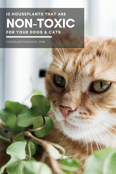 Are you a pet-owner?! Check out this list of indoor plants that are safe for pets! #nontoxicplants #catfriendlyplants Poisonous Houseplants | Houseplants that are Safe | Houseplants that are Safe for Cats | Houseplants that are Safe for Dogs | Houseplants that are Safe for Pets | Non-Toxic Houseplants | Non-Toxic Indoor Plants | Indoor Plants that are Non-Toxic | Houseplants that are Not Poisonous | Best Indoor Plants, Outdoor Plants, House Plants Decor, Plant Decor, Cat Friendly Plants, Cast Iron Plant, Apartment Plants, Low Light Plants, Bamboo Plants