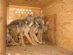 These coyote pups are just four of 28 orphans currently receiving care at The Fund for Animals Wildlife Center in Ramona, California. Born Free USA is proud to help aid their recovery by sending them donated fur items from our Fur for the Animals campaign. PHOTO: The Fund for Animals Wildlife Center