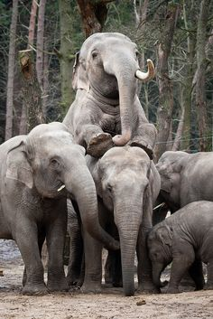 elephants #ivoryforelephants #elephants #stoppoaching