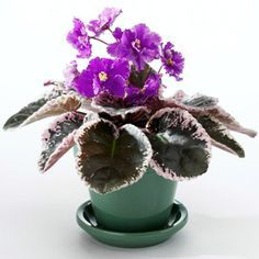 Beautiful variegated leaves on this African Violet!