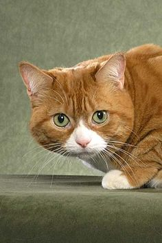 manx cats | Manx Cat Picture 2 | Pictures of Cats
