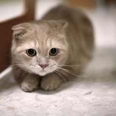 Scottish Fold Kitten I'm getting one and naming him Henry noble