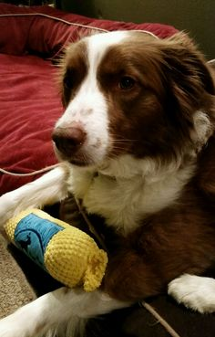 Ruby keeps herself busy during days of rain by removing the squeakers from all their toys...lol!!