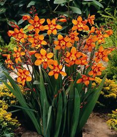 "Crocosmia Orange ""Emily Mckenzie"" - Click Image to Close Pond Plants, Landscaping Plants, Garden Plants, Garden Pond, Perennial Flowering Plants, Perennials, Planting Bulbs, Planting Flowers, Daylily Garden"