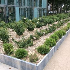 Square Gambetta, Carcassonne, modern formal planting in France, bamboo clumps, two varieties of roses.
