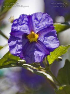 Photograph of the day By Bill Heller, Potato Vine, Blue Potato Bush or Paraguay Nightshade [Solanum rantonnetii] Blue Potatoes, Potato Vines, Planting Flowers, Bush, Drawing Clothes, Purple, Plants, Gardening, Lawn And Garden