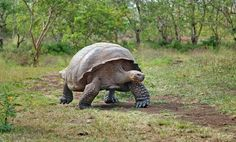 Galapogos Tortoise