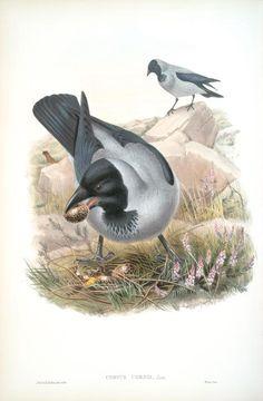 Corvux cornix. Hooded Crow.