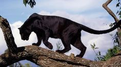 A black panther is the melanistic color variant of any Panthera species. Black panthers in Asia and Africa are leopards (Panthera pardus) and black panthers in the Americas are. Jaguar Panther, Panther Leopard, Black Panther Cat, Baby Animals, Cute Animals, Wild Animals, Gato Grande, Baby Tigers, Pet Tiger