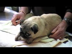 Acupuncture gets Tilly the pug back to a good life after car accident brain injury causes total paralysis.