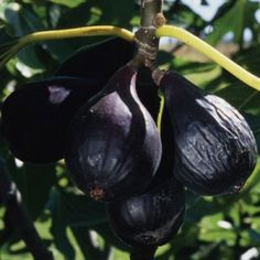 Negronne  A naturally small tree, Negronne bears striking, almost black fruit, with tasty, sweet, dark red flesh. Negronne is well suited for container culture or confined spaces.