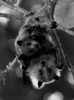 Beautiful Fruit Bats!!!!  They are so like little children and love everything sweet and juicy.