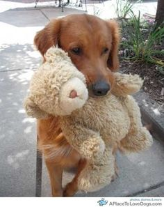 golden retreiver and teddy