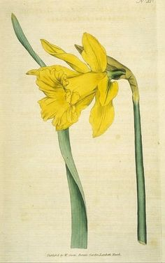 """Great Daffodil"""