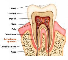 Drynaria – Benefits of Unique Bone-Building Herb for Gingivitis and Osteoporosis