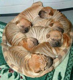 Bunch of cute shar peis!!!
