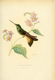 Violet-throated starfrontlet, Bolivia and Peru. Histoire naturelle des oiseaux-mouches, ou, Colibris constituant la famille des trochilidés, Martial Étienn Mulsant, 1874.