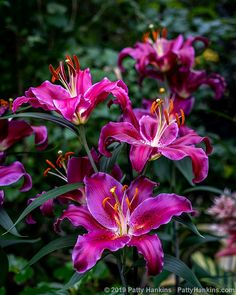 I love seeing lilies at the local botanical gardens. I thought I'd share some of the lily photos I've e… Amazing Flowers, My Flower, Flower Art, Pink Flowers, Beautiful Flowers, Strange Flowers, Oriental Lily, Longwood Gardens, Floral Photography