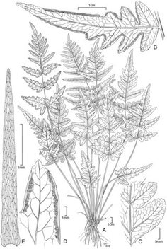 Check out botanical art by alice tangerini and other scientific pteris hivaoensis artwork by alice tangerini ccuart Image collections