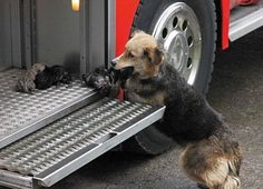 Brave mother dog who carried her puppies to safety in fire truck after returning to the burning home 5 times