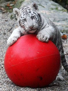 One of the White Bengal Tiger Triplets in the Czech Republic. Just 6 months old, they frolic for hours, looking adorable.
