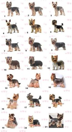 Yorkie Styles! Would love to try some of these! The same old cut gets boring after a while..... :P