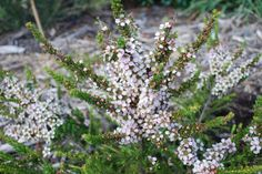 Leptospermum Mozzie Blocker --- For more Australian native plants visit austraflora.com