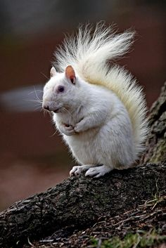 White Squirrel: Should I Stay or Should I Go ~ by TheNatureDude, aka Patrick Connolly, in Olney, Illinois