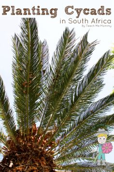 planting cycads in South Africa and other regions from Teach Me Mommy #gardeningwithkids