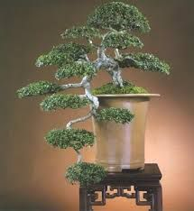 Kartinki Po Zaprosu Kengai Bonsai Bonsai Tree Bonsai Garden Bonsai Art