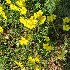 Mooi onkruid in februari! #geel