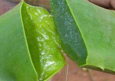 Aloe Vera para cabello graso