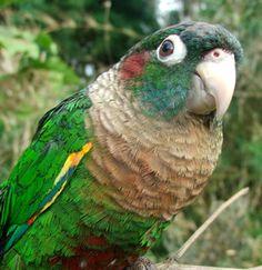 Flame-winged Parakeet (Pyrrhura calliptera)