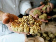 """Food & Travel Amuse Bouche: White truffles, Alba, Piedmont, Italy. It's life or death stuff from October and December when the Piemontese town teems with Armani-clad gastronomes in search of their €10,000/kg """"white gold"""" fix at the weekly Mercato del Tartufo."""