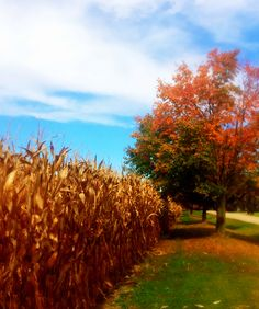 Early Fall in the cornfields.
