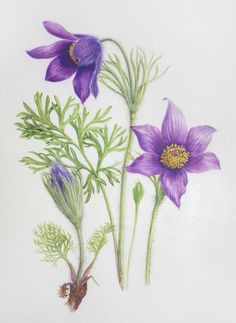 Pulsatilla vulgaris - watercolour by Dianne Sutherland