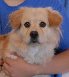 Dee Dee - Endearing girl, blond Cocker Spaniel mix, perhaps with Corgi, spayed, 4 years.    Her pleading eyes melt our hearts.  She is good with dogs.  Please plan for regular brushing and grooming.  She needs a special diet.