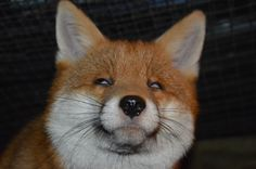 Pudding the fox: Not all photos of Pudding come out as we would like!