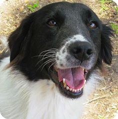01/25/16 - -Houston, TX - Border Collie/Australian Shepherd Mix. Meet Joy, a dog for adoption. http://www.adoptapet.com/pet/10225289-houston-texas-border-collie-mix