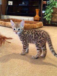 - Bengal Kittens - Ideas of Bengal Kittens - Beautiful ! Bengal Kittens Ideas of Bengal Kittens Beautiful ! The post Beautiful ! appeared first on Cat Gig. The post Beautiful ! appeared first on Cat Gig. Serval Cats, Bengal Kittens, Cats And Kittens, Vizsla, Savanna Cat, Gato Bengali, Asian Leopard Cat, Polydactyl Cat, Spotted Cat