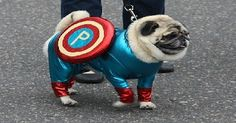 I so need captain pug right now. #ADORABLE. So cute too.